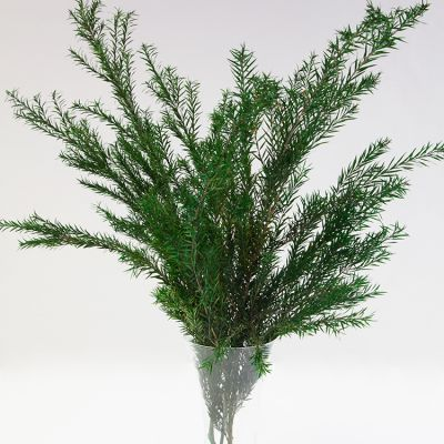 CONIFER BUNCH DEEP GREEN